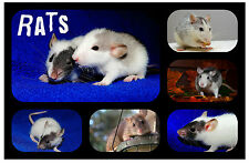 RATS - NOVELTY SOUVENIR FUN FRIDGE MAGNET -  BRAND NEW - LITTLE GIFT / XMAS