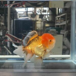 GOLDFISH TRI COLOR ORANDA  #28 fish VIDEO in description