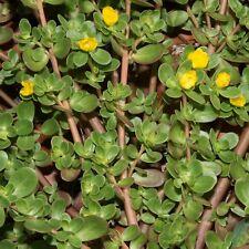 Portulaca oleracea 200 Seeds Shortpod Mediterranean Purslane Little hogweed