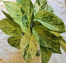 3 Live Marble Queen Variegated Pothos Bare Root cuttings Devils Ivy Plant