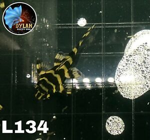 1 Pleco L134 - ( Size3)Leopard Frog Pleco - High Quality Pleco