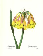 1991 Vintage REDOUTE FLOWER #28 KNYSNA LILY CYRTANTHUS WOW! Color Art Lithograph