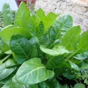 Vegetable - Perpetual Spinach - Spinach Beet - 600 Seeds -1st Class