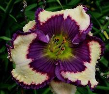 Daylily Seeds (Mathew Weldon x Lacia Babb) (9) Seeds