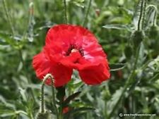 Poppy- Shirley Red- 1000 Seeds