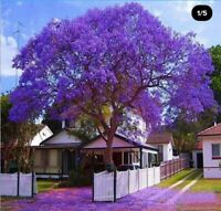Huge!Jacaranda Mimosifolia Tree Live Plant Purple Flowering Brazilian Rose1-2ft!
