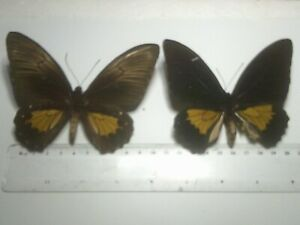 Insect/Butterfly Set Spread B7733 Rare Large Golden Pair Papilio.T. papeunsis