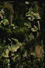 158071 Smooth Rock Trippe Gyrophora Dillenii A4 Photo Print