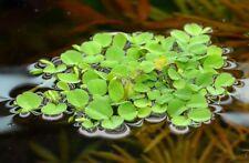5 x pianta galleggiante acquario dolce salvinia natans