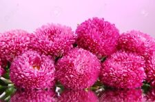 Aster Pink Bouquet Seeds 0,3g annual flower ��тра Розовый букет
