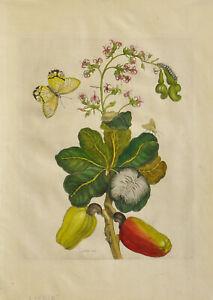 Merian: Anacardium Occidentale Cajous. Altkolorierter Original-Kupferstich.