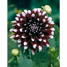 "Bolly Bulbs® - Decorative Dahlia 'Mystery Day' Tubers Large 6"" To 8"" Blooms"