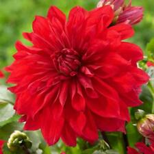 True Red Dahlia Bulbs Rare Flower Bonsai Flower Bulb Symbolizes Lucky Gardening