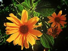 Mexican Sunflower / Bolivian Sunflower - Tithonia diversifolia cuttings -sterile