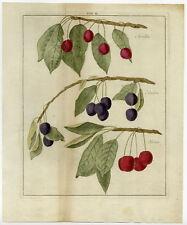 Antique Print-MORELLO-CHERRY-Pomologia-Knoop-1758