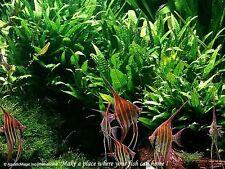 Java Fern - for live aquarium plant fern driftwood AE