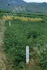 VTG 35mm Glass Slide 1953 South Korea War Soybeans at Agriculture School [C11]
