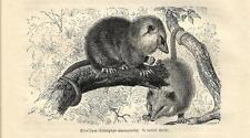 Stampa antica OPOSSUM COMUNE Didelphys marsupialis 1891 Old antique print