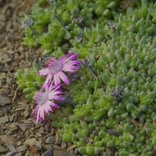 Antimima pygmaea Seed Arid Living Mat-Forming Succulent Summer Dormant