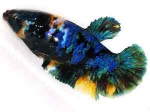 (LimitedOffer!) Premium Live Betta Fish l Female Tiger Avatar Plakat 7253