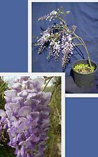 WISTERIA SINENSIS Glicine Pianta rampicante W. creeper plant viola purple v/p 18
