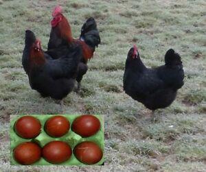 10 Eier von Marans Hühnern groß!!