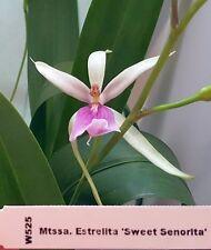 BIN Mtta. Estrelita 'Sweet Senorita' 3 1/4'' Pot Frag S441