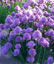 Perennial Herb seed - Chive 50 seeds Allium Schoenoprasum onion spice vegetable