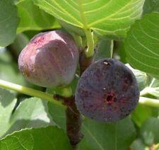 Fig Madeleine 3L Fruit Tree Sweet Flavour Purple Des Deux Saisons Fruiting