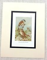 Vintage Uccello Stampa Rosso Retro Shrike Fauna Selvatica Art Thorburn's Ca.