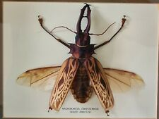 More details for macrodontia cervicornis (south america) very large rare specimen 150mm, mounted