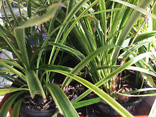 Variegated Liriope Ornamental Lily Turf Grass Perennial Plants Clump