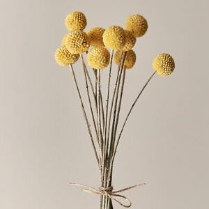 X10 Dried Craspedia Yellow Gold Billy Button Large Stem For Flower Arranging UK