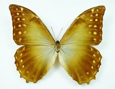Morpho amphitryon ssp. susarion Männchen