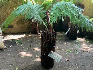 Tree Fern Dicksonia antarctica <1ft Beautiful Fronding Logs for planting/potting