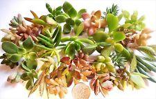 30 Succulent Cuttings 15 Varieties  Tiny Mini Fairy Garden Wedding Favors