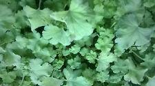 Scented Pelargonium Collection - Apple, Rose, Cola, Orange & Lemon. Geraniums