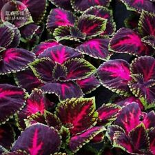 Kong Red Giant Coleus Herbs 20 Seeds Garden Mosquito Repellent Plant Rare Flower