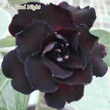 Adenium obesum Desert Rose Well Rooted Plant Perfect Rare Bonsai