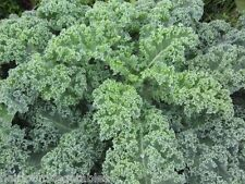 Vates Blue Curled Kale Over 1,000 seeds. ***SAME DAY SHIPPING***