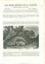 8 pages animals mammal mammal brown bear ursus arctos brown bear # 117 1866