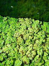 2 Salvinia Minima Live Floating Aquatic Plant Freshwater Aquarium & Pond Plants