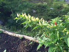 New listing 100 Hawaiian Chili Pepper Seeds