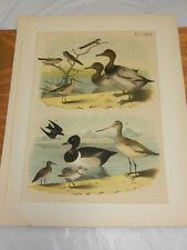 1878 STUDER COLOR BIRD Print/DUCKS, SWALLOWS, SNIPE, GODWIT, SANDPIPER, PLOVER