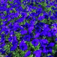 Petunia - Explorer Pellets Blue - 5 Seeds