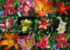 10 MIXED COLORS DAYLILY Hemerocallis Day Lily Fine Mix Red Purple Flower Seeds