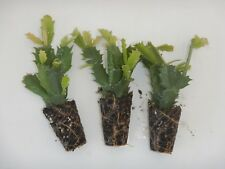 U Pick Any 3 Christmas Cactus/Schlumbergera Plants 115  Varieties to Choose From
