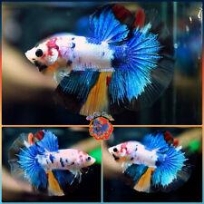 Live Betta Fish Male Juvenile Fancy Candy Koi Halfmoon #M316
