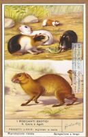 Guinea Pig And Aguti NICE 60+  Y/O Trade Ad Card