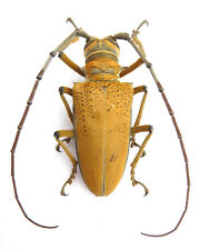 Cerambycidae, ROSEBERGIA mandibularis M ex Papua New Guinea ,K2